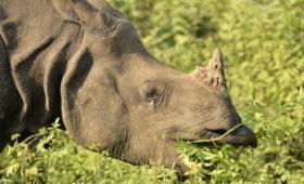 Rhino-Manas