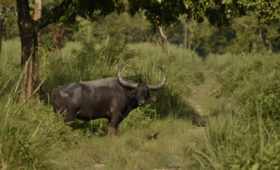 wild-water-buffalo-manas-national-park