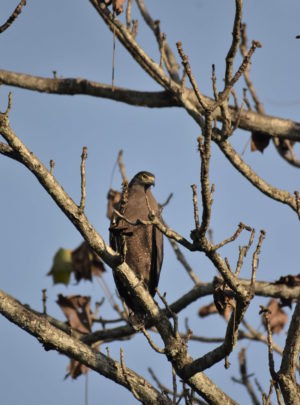 serpent-eagle-jaldapara-national-park