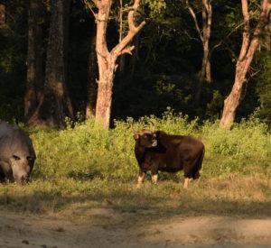 Rhino-Gaur-Hollong-Bungalow