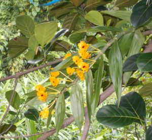 orchid-gorubathan