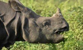 Indian-rhinocerous-patlakhawa