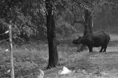 rhino-gorumara