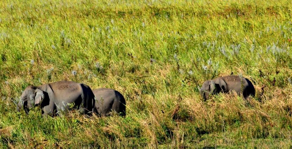 elephant-manas