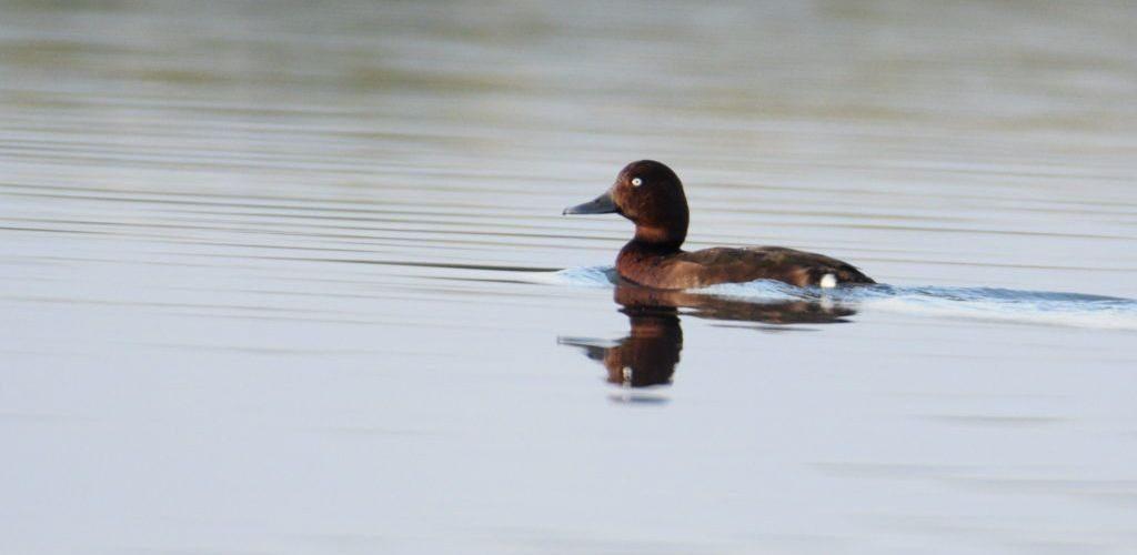 ferruginous-duck -gajoldoba