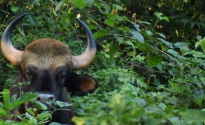 gaur-garumara-national-park-during-jungle-safari