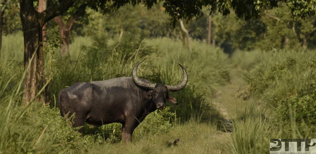 wild-water-buffalo-manas-national-park