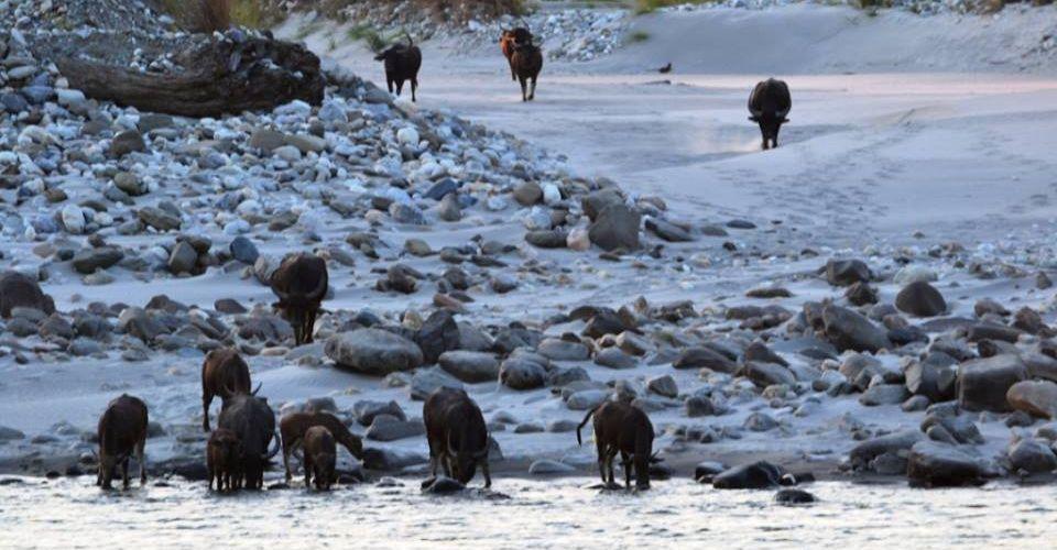 wild-water-buffalo-manas
