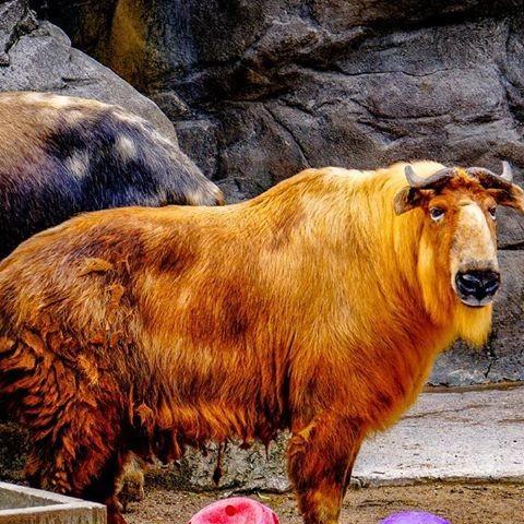 takin-darjeeling-zoo