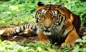 sikkim-tiger-pangolakha-wildlife-sanctuary
