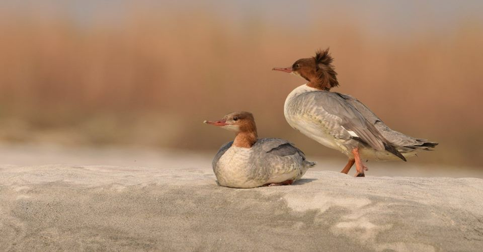 common-merganser-gajoldoba