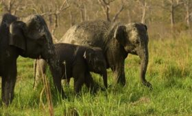 elephant-family-manas