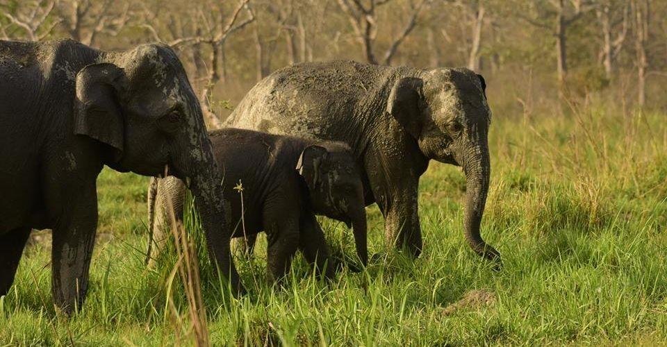 elephant-family-manas