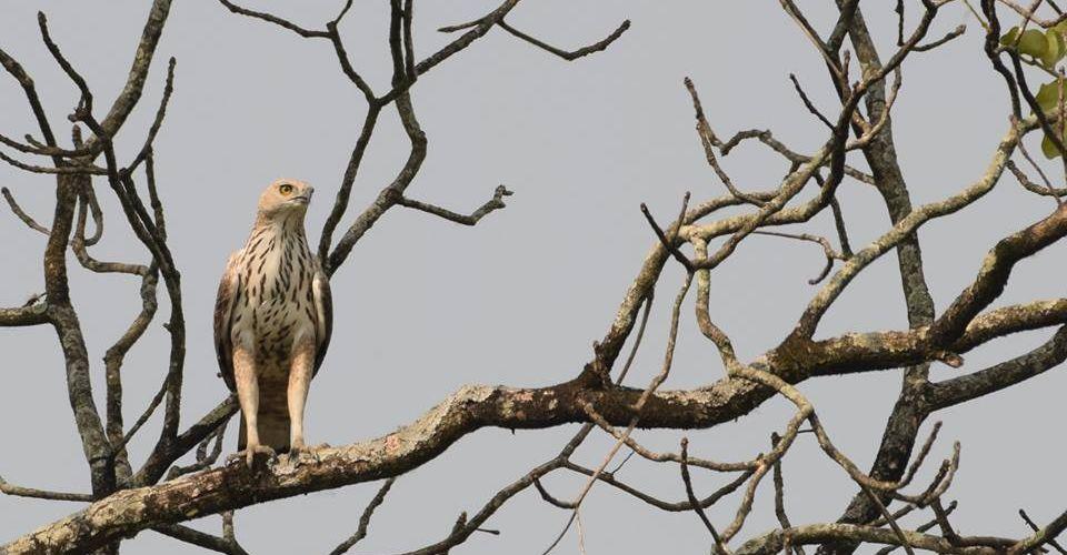 hawk-eagle-manas