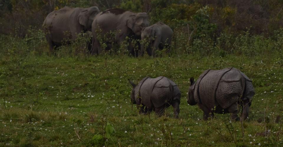 rhino-elephant-manas