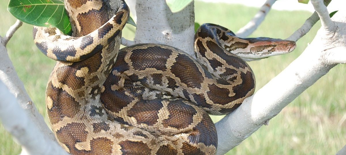 rock-python-lataguri