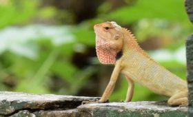lizard-lataguri