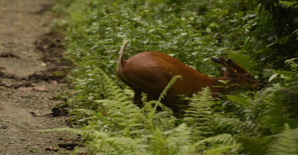 barking-deer-buxa-tiger-reserve