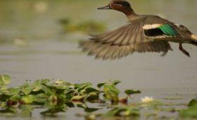 common-teal-gajoldoba-flying