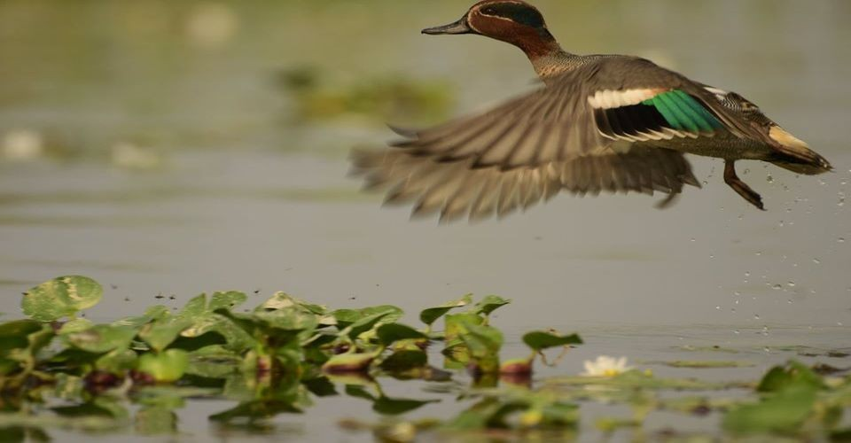 common-teal-gajoldoba-flying