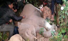 elephant-injured-naxalbari