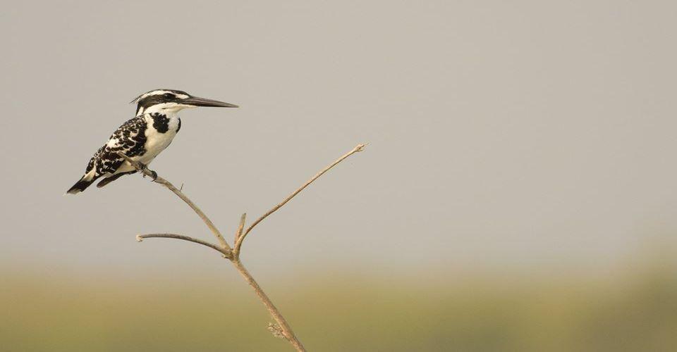 pied-kingfisher-gajoldoba