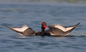red-pochard-gajoldoba