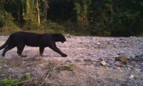 black-panther-buxa-jayanti-mahakal