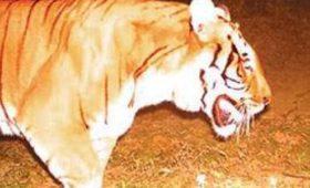 tiger-neora-valley