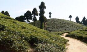 gopaldhara-tea-garden