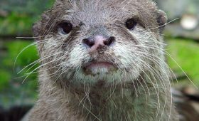 asian-small-clawed-otter-patlakhawa