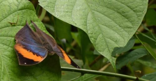 orange-oakleaf
