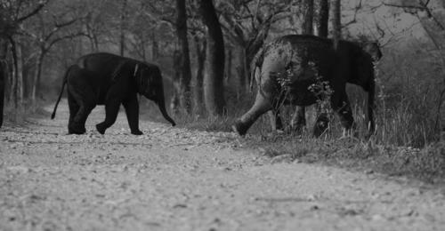 elephant-calf-manas