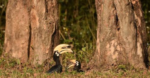 hornbill-hollong