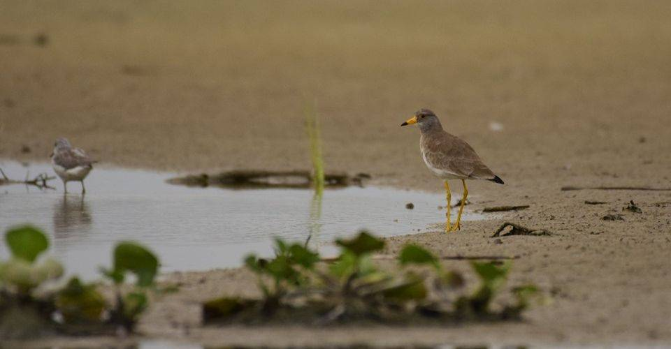 gajoldoba-grey-headed lapwing