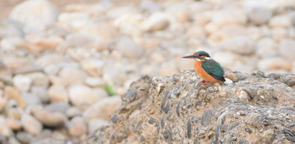 common-kingfisher-jhalong