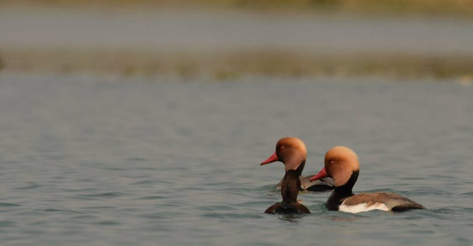 red-crested-pochard-gajoldoba