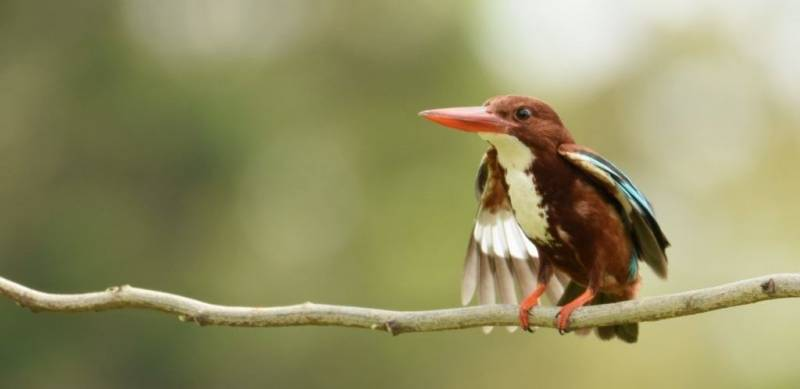 white-throated-kingfisher-murti